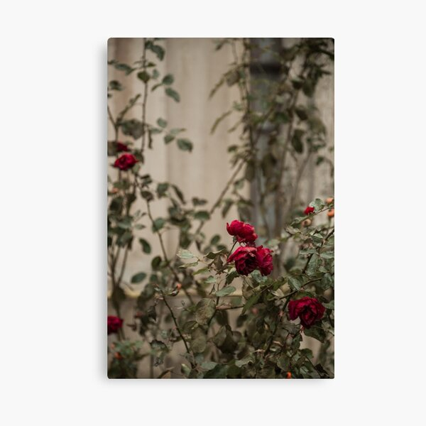 roses are blue Canvas Print