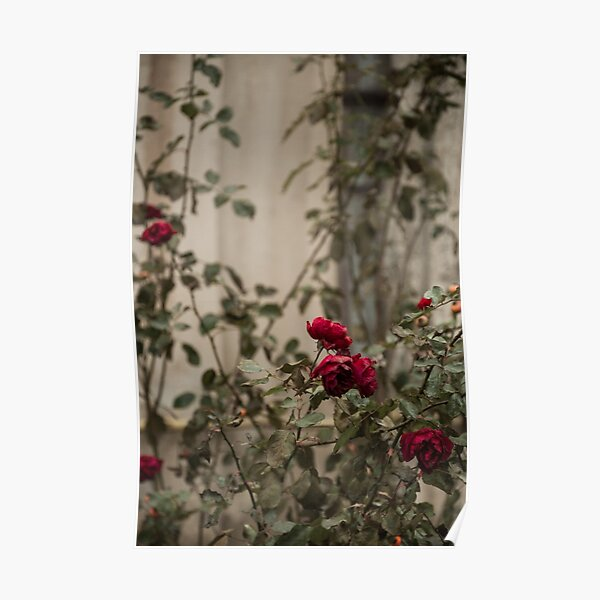roses are blue Poster