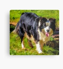 Border Collie - Color Metal Print