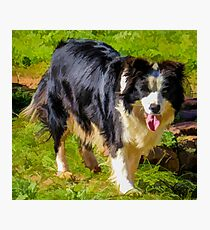 Border Collie - Color Photographic Print