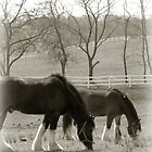 Two Clydesdale's by nastruck