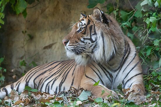 tiger at the zoo by spetenfia