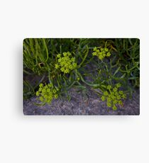 Rock Samphire, Inishmore, Aran Islands Canvas Print