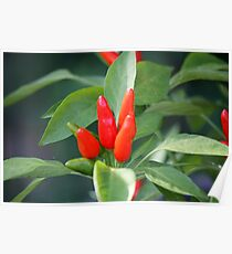 chili in vegetable garden Poster