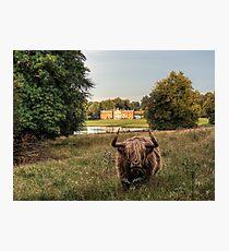 Highland Cow at Avington Park, Hampshire Photographic Print