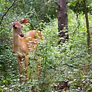 Innocence - White-tailed deer by Jim Cumming
