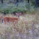 White Tailed Deer Fawn in Queen Anne's Lace by Jim Cumming