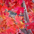 Autumn Leaves And Yellow Rumped Warbler by K D Graves Photography