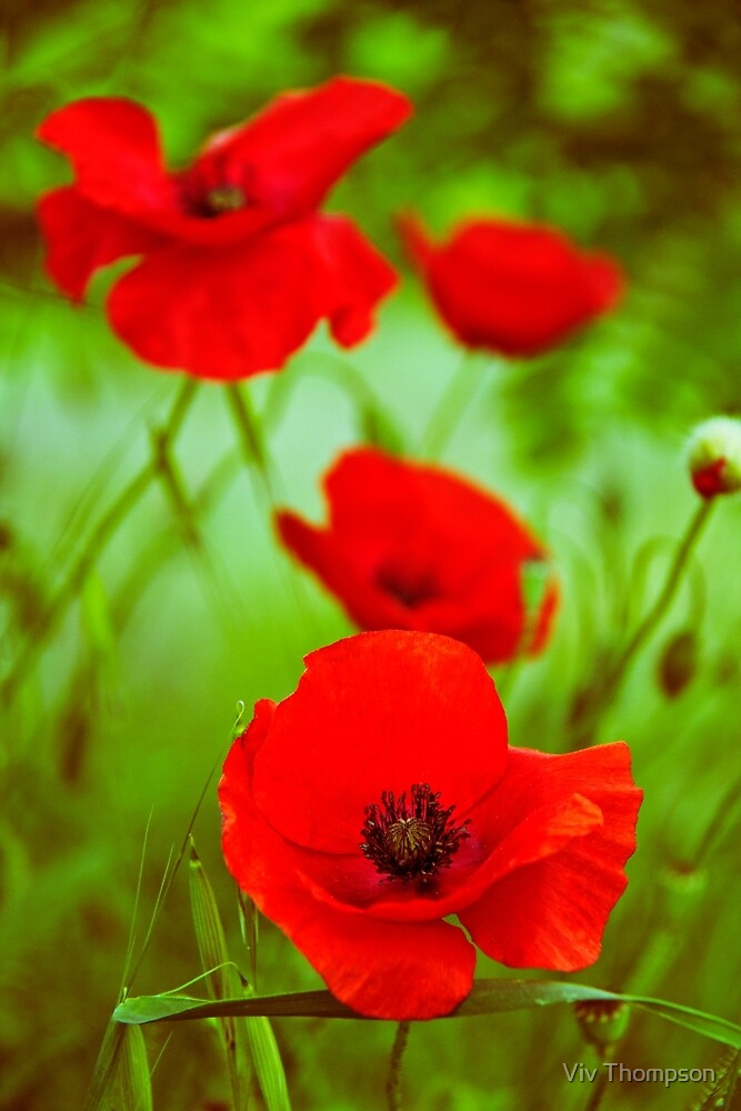 Wild Poppies in Italy by vivsworld