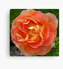 Orange coloured rose Canvas Print