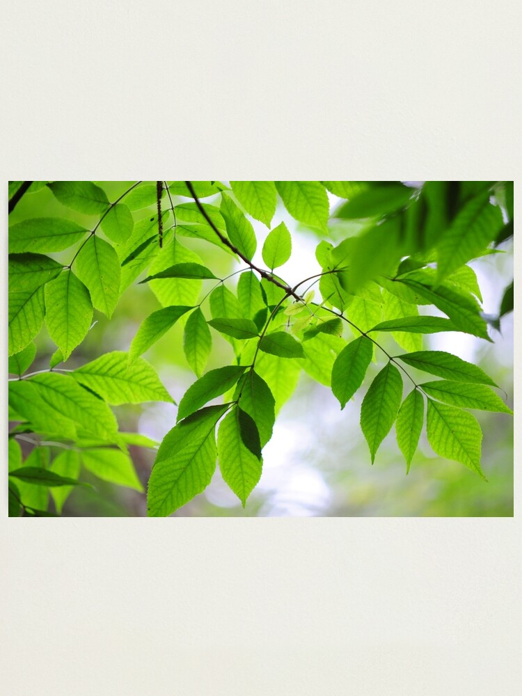 Alternate view of Green Leaves of Ash Tree Photographic Print