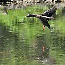 Duck coming in for a landing by mltrue