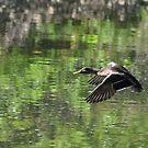 Duck in Flight by mltrue