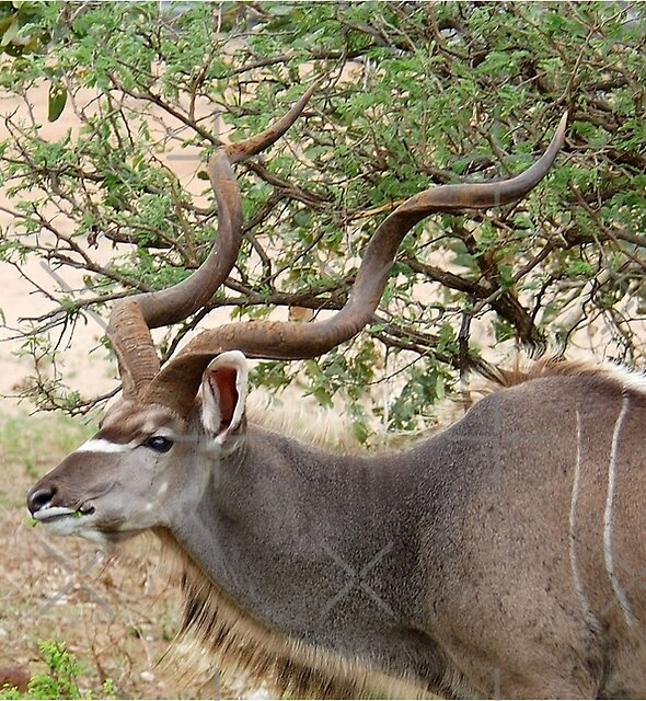 THE GRACEFUL - THE KUDU - Tragelaphus strepsiceros by Magriet Meintjes
