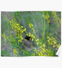 Bumble Bee on Flower Poster
