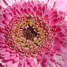 ALL IN PINK, UP CLOSE - GERBERA by Magriet Meintjes
