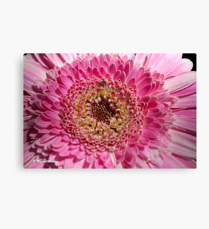 ALL IN PINK, UP CLOSE - GERBERA Canvas Print