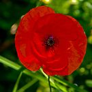 Popping Poppy by Erick Sodhi