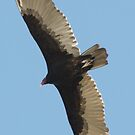 SOAR!  Beauty! Predatory birds along coastal shores of CA; Just S.Morro Bay USA by leih2008