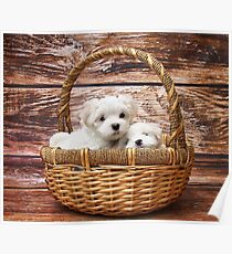 Maltese Puppy Poster