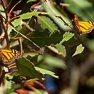 Monarch Butterlies at Pismo Beach by Yukondick