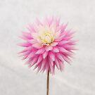 Pastel Pink Dahlia In Full Bloom by Ra12