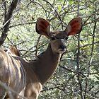 Female Kudu by Hermien Pellissier