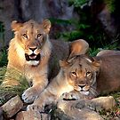 Lion and Lioness by LjMaxx