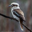 The Kookaburra by Rick Playle