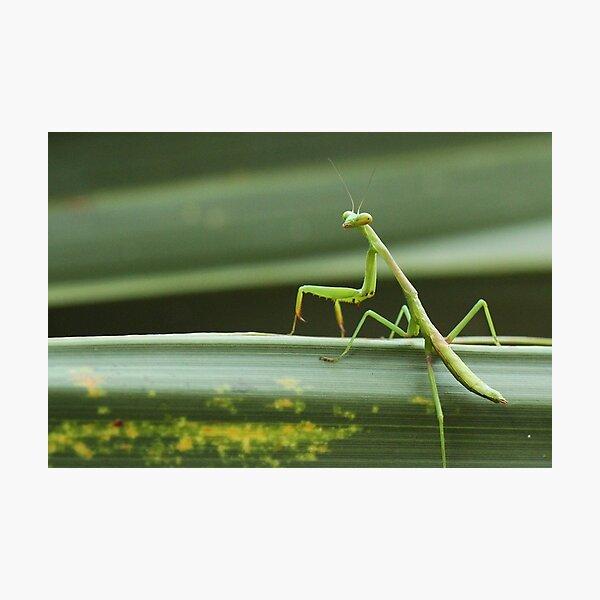 Carolina mantis against green plant Photographic Print