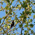 Brown Headed Cowbird  by Studio8107