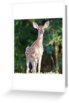 A young white tailed deer by Anthony Goldman