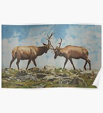 Elk Bulls Fighting Poster