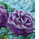 Purple Rose by IngenuityDesign