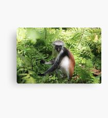 Red Colobus Monkey of Zanzibar Island, Tanzania Canvas Print