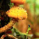 Fungus at Black River far nor west Tasmania , Australia by phillip wise