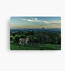 Cattle of Maleny Canvas Print