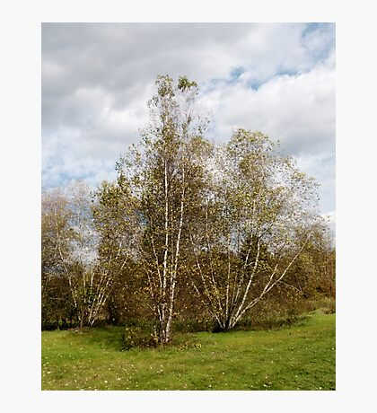 Birch Trees in Autumn Photographic Print
