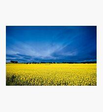 Golden Canola Photographic Print