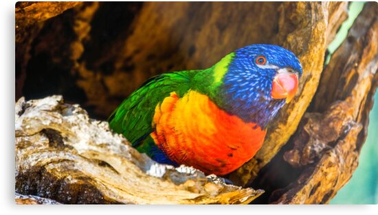 Rainbow Lorikeet in a Tree Hollow by sjphotocomau