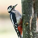 Great Spotted Woodpecker by M S Photography/Art