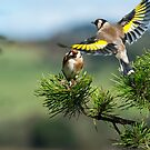 European Goldfinches by M S Photography/Art
