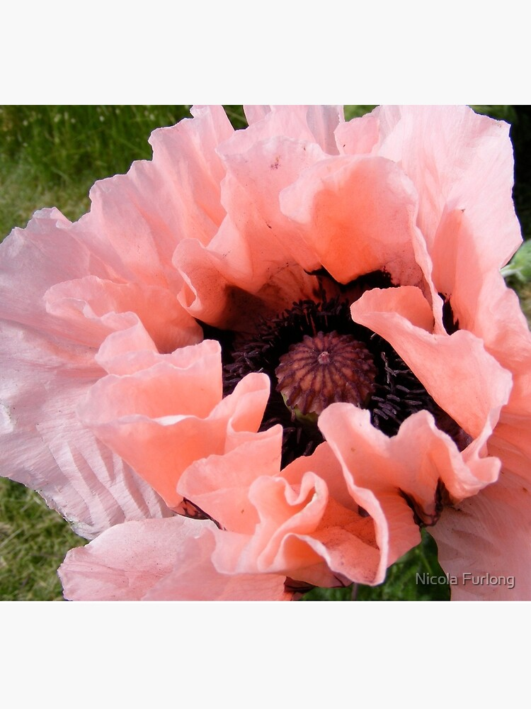 PINK POPPY FLOWER PETALS by nicolafurlong