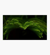 Pine needle Photographic Print