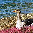 Goose relaxing in the flowers by Susan Blevins