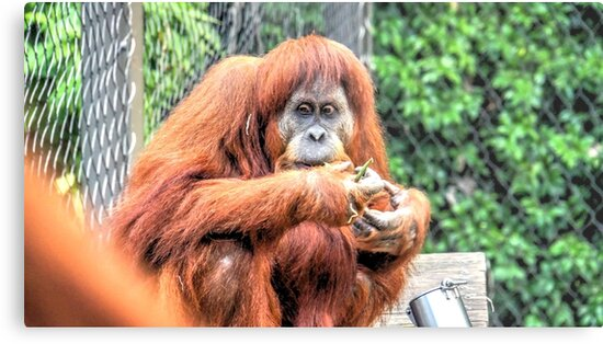 The Resting and Contemplating Orangutan by sjphotocomau