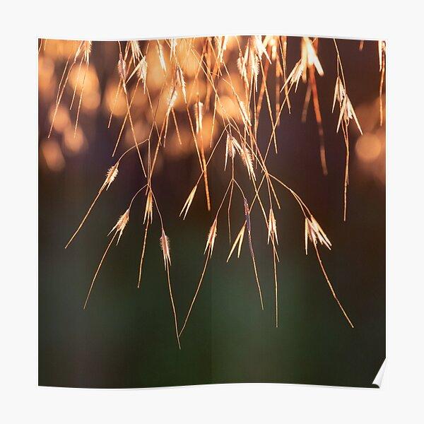 Backlit golden oats grass in evening sun Poster