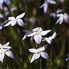 Star White Flowers by Joy Watson