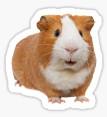 red guinea pig Sticker