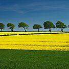Rapeseed Field by Michelle Lovegrove